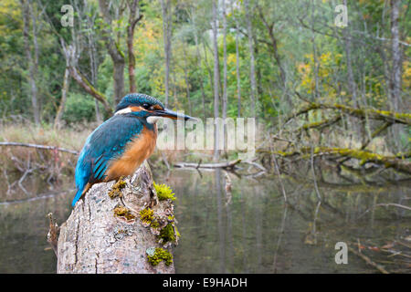 Kingfisher (Alcedo atthis), in a river landscape, Protected Landscape Area Tratzberg, Tyrol, Austria - Stock Photo
