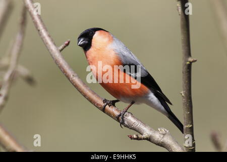 Common bullfinch male - Stock Photo