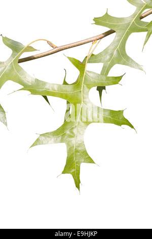 Quercus Palustris - Stock Photo