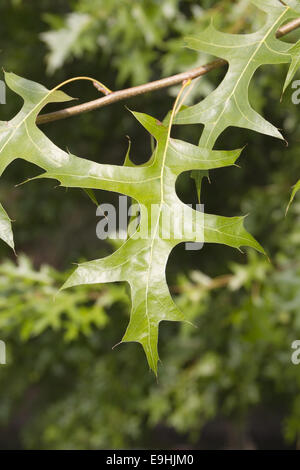 pin oak - Stock Photo