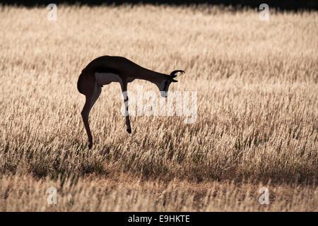 Springbok, Antidorcas marsupialis, pronking, Kgalagadi Transfrontier Park, Northern Cape, South Africa - Stock Photo