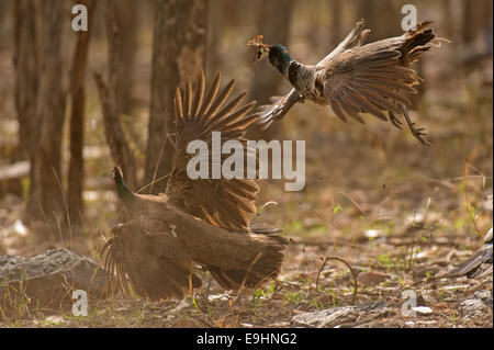 Female Indian peafowls or Pavo cristatus fighting in the dry jungles of Ranthambhore - Stock Photo