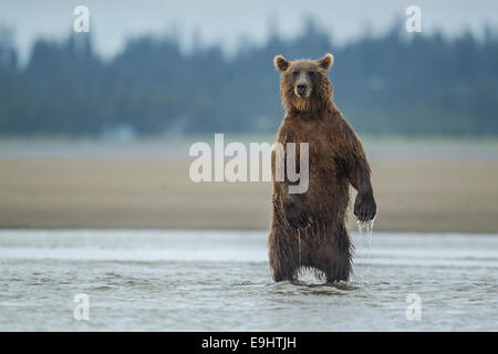 Alaskan brown bear fishing for salmon in Lake Clark National Park, Alaska - Stock Photo