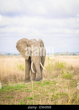 Male elephant on the savanna in Tanzania, Africa. - Stock Photo
