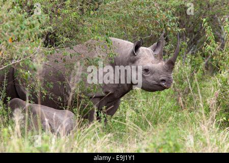 Black rhino (Diceros bicornis), Maasai Mara, Kenya, Africa - Stock Photo