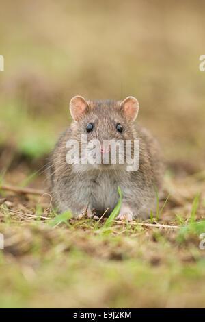 Close up portrait of a Brown Common Rat (rattus norvegicus) - Stock Photo