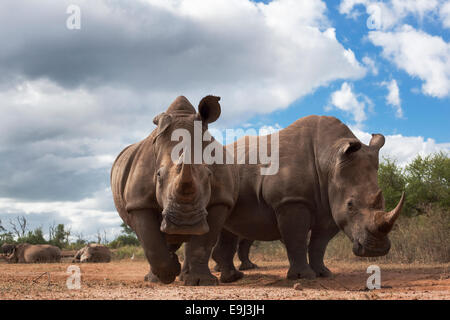 White rhinos, Ceratotherium simum, Hlane Royal National Park game reserve, Swaziland, Africa - Stock Photo