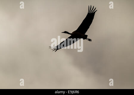 A Black-necked crane (Grus nigricollis) flying over winter feeding grounds in sheltered valley of Lake Napa, Yunnan, - Stock Photo
