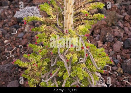 The base of a taginaste rojo (Echium wildpretii) plant flowering late on basaltic scoria at Montana Boca Cangrejo, Tenerife