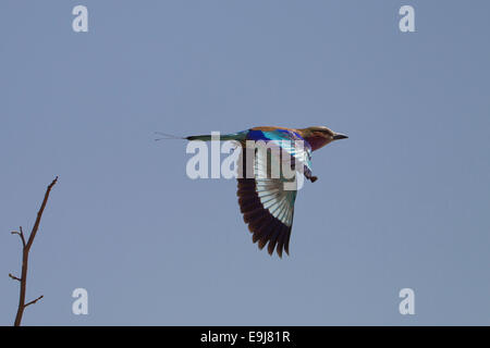 Lilac Breasted Roller in flight - Stock Photo