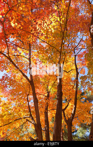 Maple tree in fall - USA - Stock Photo