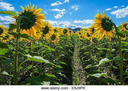 Field of giant yellow sunflowers in full bloom, Oraison, Alpes-de-Haute-Provence, Provence-Alpes-Côte d'Azur, France - Stock Photo
