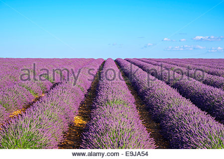 Rows of purple lavender in height of bloom in early July in field on the Plateau de Valensole, Provence, France - Stock Photo
