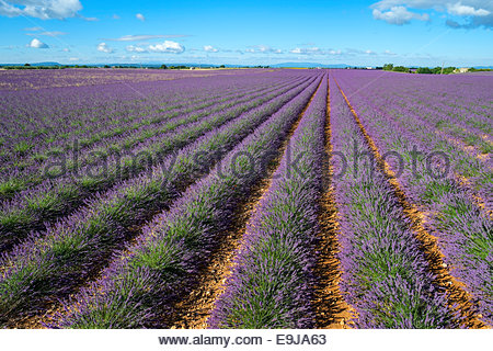 Rows of purple lavender in height of bloom in early July in field on the Plateau de Valensole, near Velensole, Provence, - Stock Photo