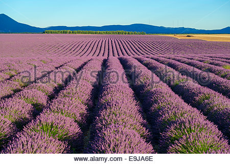 Rows of purple lavender in height of bloom in early July in field on the Plateau de Valensole, near Puimoisson, - Stock Photo