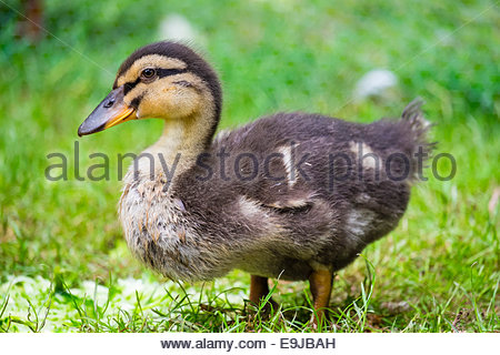Young baby duck, three week old duckling in the grass, La Creuse, Limousin, France - Stock Photo