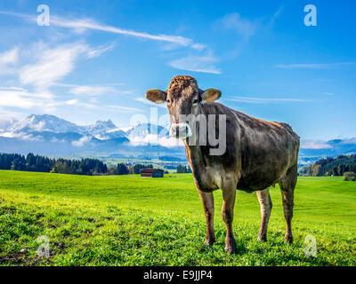 Image of a cow on a green meadow with alps in bavaria - Stock Photo