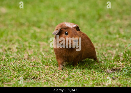 American Crested Guinea Pig, Germany - Stock Photo