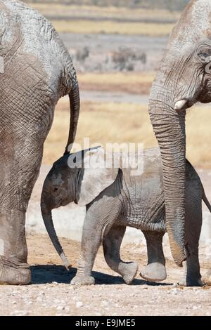 African elephants (Loxodonta africana), a baby surrounded by two adults, at waterhole, Etosha National Park, Namibia, - Stock Photo