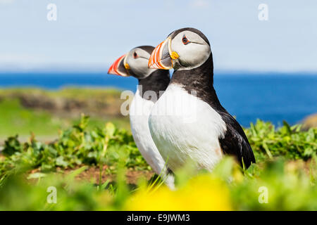 Atlantic puffin (Fratercula arctica) standing outside their burrow - Stock Photo
