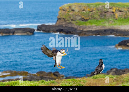 Atlantic puffin (Fratercula arctica) landing with nesting material - Stock Photo