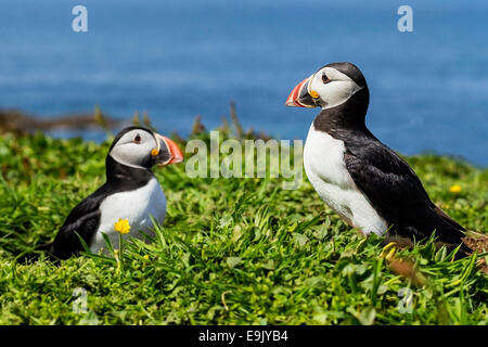Atlantic puffin (Fratercula arctica) pair next to burrow at summer breeding colony - Stock Photo