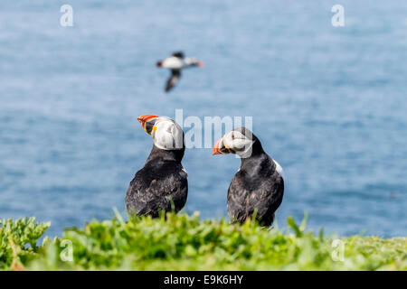 Atlantic puffin (Fratercula arctica) pair on cliff top colony - Stock Photo