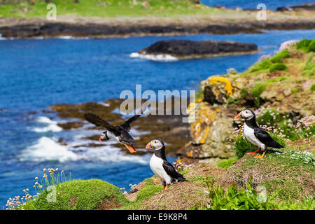 Atlantic puffin (Fratercula arctica) takes off from cliff top colony as two others look on - Stock Photo