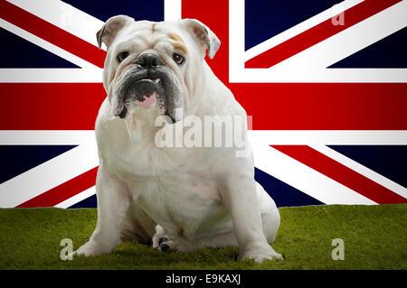 Portrait of British Bulldog sitting in front of Union Jack - Stock Photo