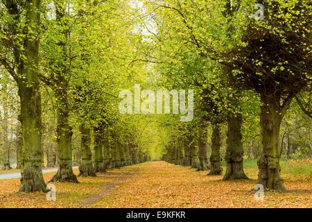 Autumn on Lime Tree Avenue, Clumber Nottinghamshire England UK - Stock Photo