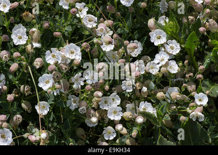 Massed summer flowers of the sea campion, Silene uniflora, at the Lizard, Cornwall - Stock Photo