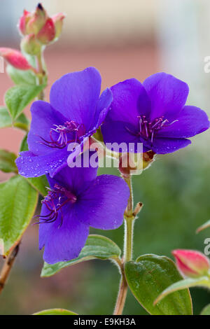 Flowers of the tender sub-tropical autumn and winter flowering glory bush, Tibouchina organensis - Stock Photo