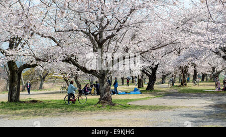 Japanese tourists enjoy cherry blossom during spring in Arashiyama. - Stock Photo