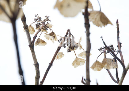Dead Hydrangea plant in January with snow in the background. - Stock Photo
