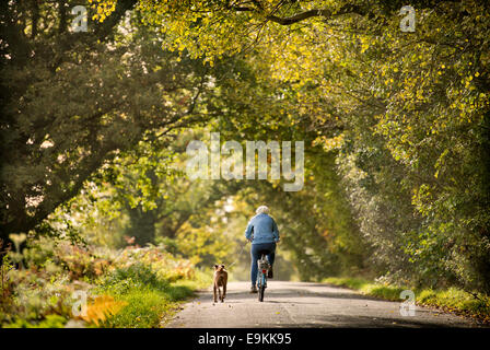 A retired lady exercises her Boxer dog amongst autumn colour in Michaelwood, Gloucestershire UK Oct 2014