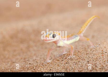 Webfooted gecko, Palmatogecko rangei, Namib Desert, Namibia - Stock Photo
