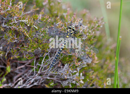 A common Hawker dragonfly rests on some heather in Glen Ey near Braemar - Stock Photo