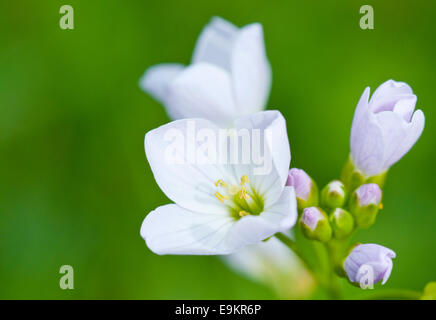 Open flower of Ladys Smock also known as Cuckoo flower against a green background taken at Cheshunt, Herts - Stock Photo
