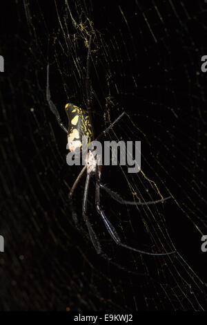 Banded-legged golden orb-web spider (Nephila senegalensis), Phinda private game reserve, South Africa, - Stock Photo