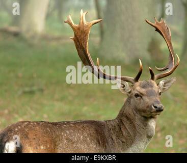 Adult fallow deer ( buck ) in a woodland area, Amsterdamse Waterleidingduinen, Vogelenzang, North Holland, The Netherlands. - Stock Photo