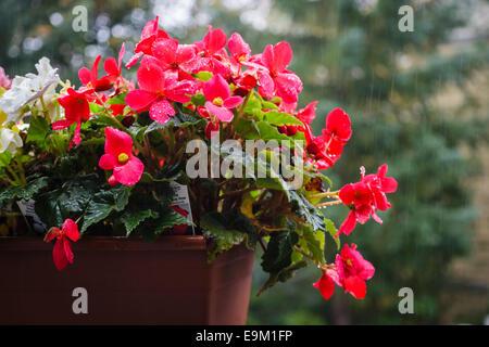Red Begonia flower nonstop begonia tuberhybrida, tuberous begonias - Stock Photo