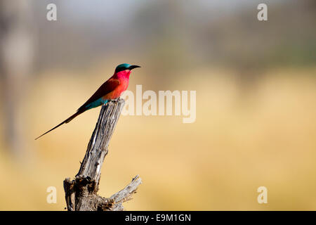 Southern Carmine bee-eater perches on a branch - Stock Photo