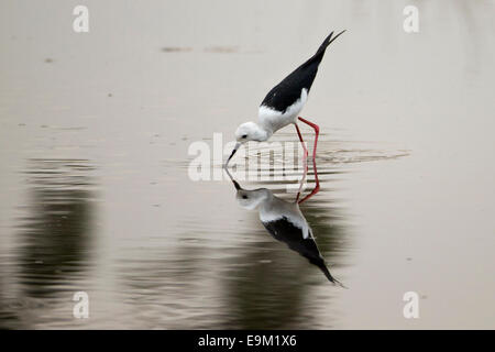 Black winged stilt searches for food, reflected in still water. - Stock Photo