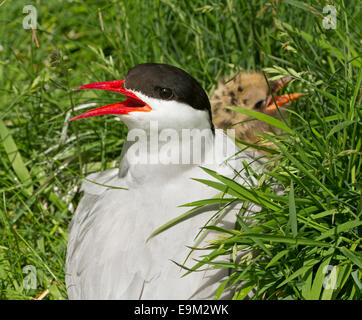 Female arctic tern, Sterna paradisaea, bright red beak open, on nest with chick among emerald grass on Farne Islands - Stock Photo