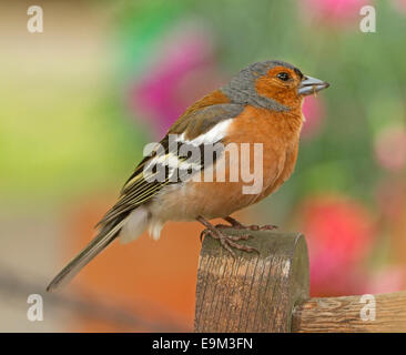 Spectacular image of common chaffinch, Fringilla coelebs with bright plumage on weathered wooden fence post near - Stock Photo