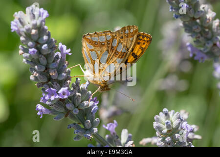 Queen of Spain Fritillary butterfly (Issoria lathonia) nectaring in early morning sun on lavender near Najac in - Stock Photo