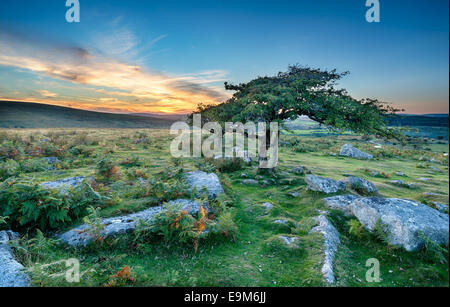 Gnarled windswept Hawthorn trees growing on moorland at dartmoor National Park in Devon - Stock Photo