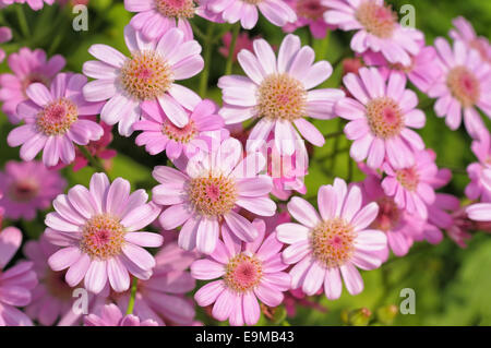 Little dahlias in the field in sunny day closeup image - Stock Photo