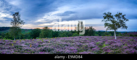 Purple heather in bloom in the New forset National Park in Hampshire - Stock Photo
