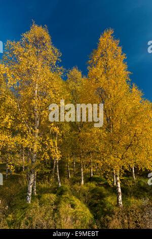 Autumnally coloured birch trees (Betula pendula), Lake Lagarfljót, near Egilsstaðir, East Iceland, Iceland - Stock Photo